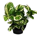 Variegated Money Plant online delivery with free shipping