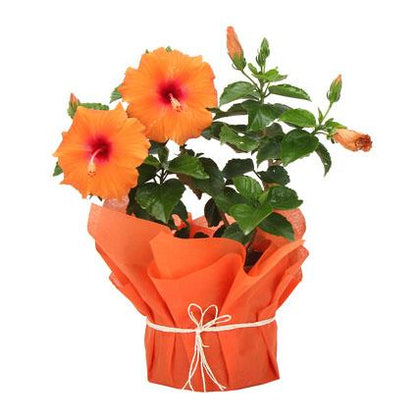 Tropical Hibiscus Plant  - Expressluv.in