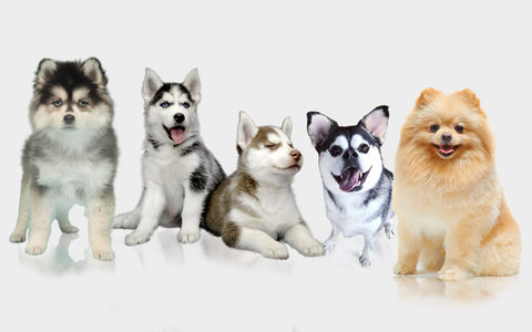 Different Types of Husky Mix Dogs