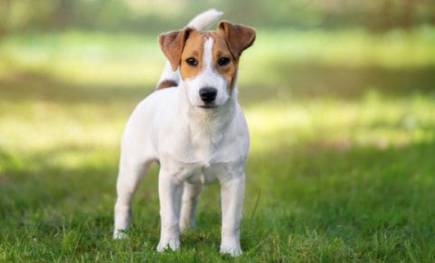 parson russell terrier, jack russell puppies, jack russell terrier mix, jack russell chihuahua mix, jack russell terrier puppies, jack russell mix, chihuahua jack russell mix, jack russell terrier chihuahua mix, jack russell chihuahua,