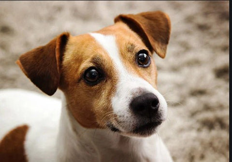 the russell, jack russell terrier
