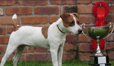 the russell, jack russell terrier, jack russell puppies