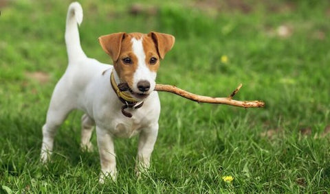 the russell, jack russell terrier , sortedfactory dogs ,small dog breeds