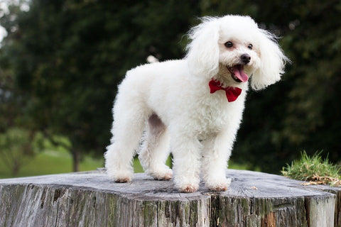 Small cute dog breeds|small dog breeds cure|small dog breeds that don't shed|small dog breeds white,poodle puppy