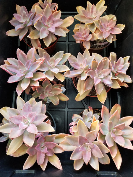 Graptoveria Fred Eves