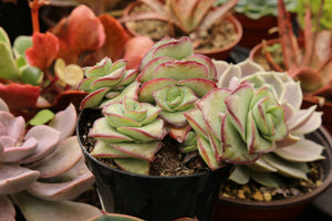 "Crassula Perforata ""String of Buttons"""