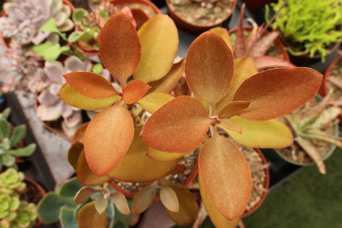 Kalanchoe Orgyalis Copper Spoon 6""
