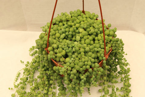 Senecio Rowleyanus String of Pearls 6""