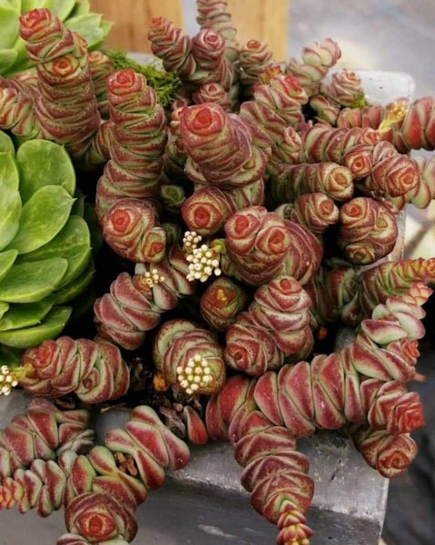 "Crassula ""Baby's Necklace"""