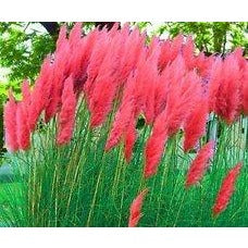 25 Red Pampas Seeds