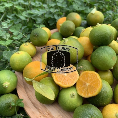 [IN STOCK] Calamansi. Limau Kasturi. Citrofortunella microcarpa - The Thorny Fruit Co