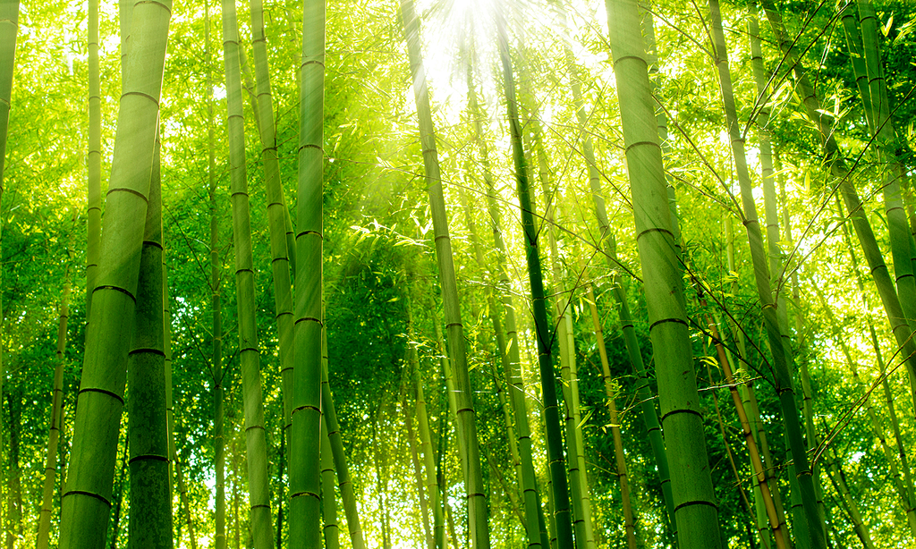 Sunlight passing through bamboo forest