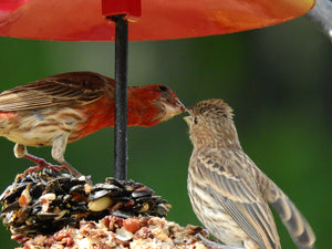 Attracting birds to your yard or to a bird feeder can yield some interesting sights.  Below is a photo of a  male house finch feeding a female house finch! Easy to make bird feeders and paint-it-yourself bird houses have always been a part of our...