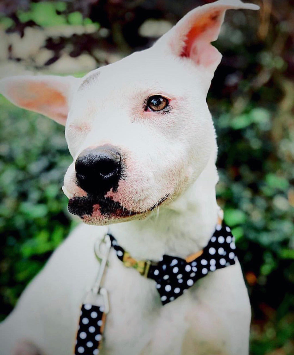 LUXE Pixie Polka Design - Playful Pooch Boutique - Online Dog Pet Store