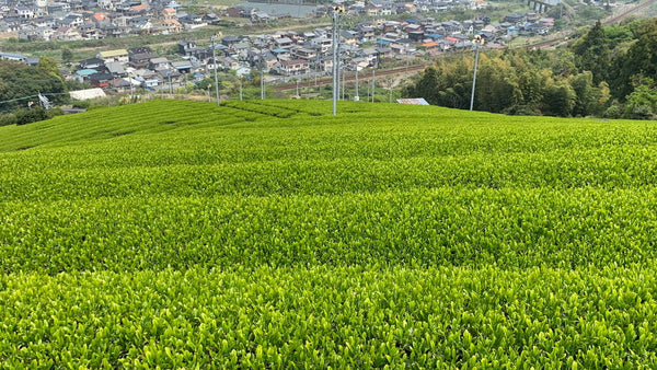 Wondrous World of Green Tea: China and Japan