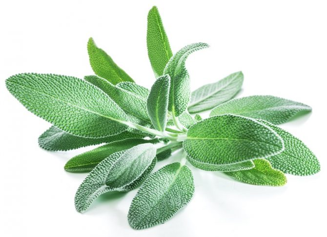 A Guide to Sage, Our Favorite Fall Herb