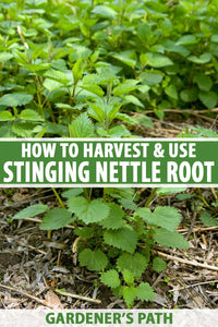 One of my all-time favorite herbs, stinging nettle has been grown and foraged for food, and used in textiles and medicine, for thousands of years across many parts of the world.