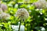 Allium Sativum (ail)traitement naturel du cholesterol du jardin de Maimonide