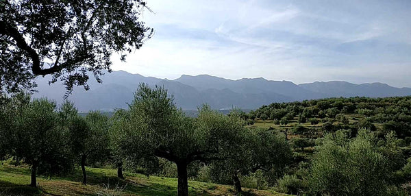 Sakellaropoulos Organic Farming is a long-standing producer of certified organic extra virgin olive oils and organic gourmet Kalamata olives in Peloponnese. Their olive groves are situated near Sparta, Lakonia, in an area where olive oil culture...