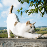 white cat stretching