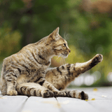 tabby cat stretching