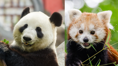 All About Panda Bears - And Pandas That Aren't Bears!