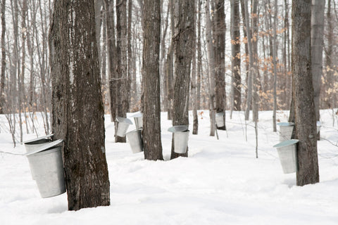 maple trees being tapped for syrup