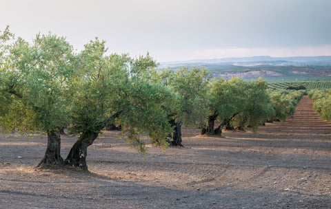 olive trees in grove