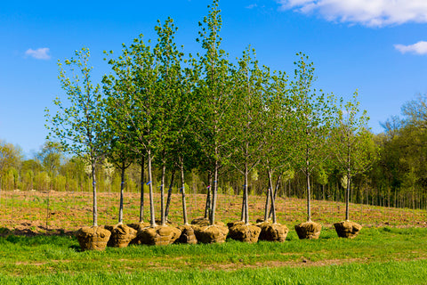 row of trees to be planted