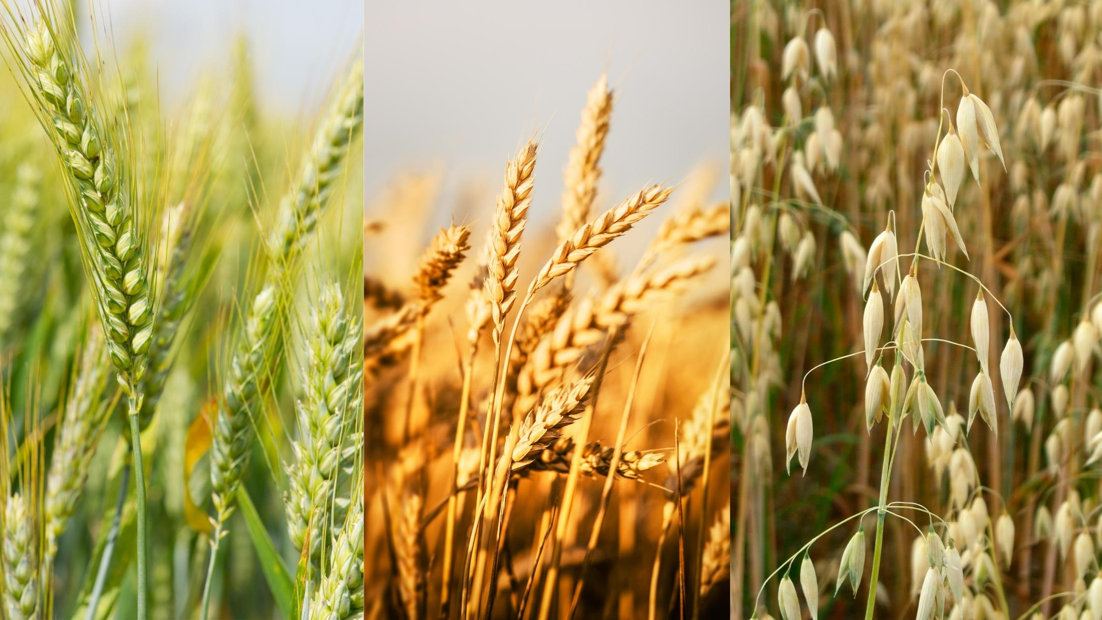 rye, wheat, and oat grasses