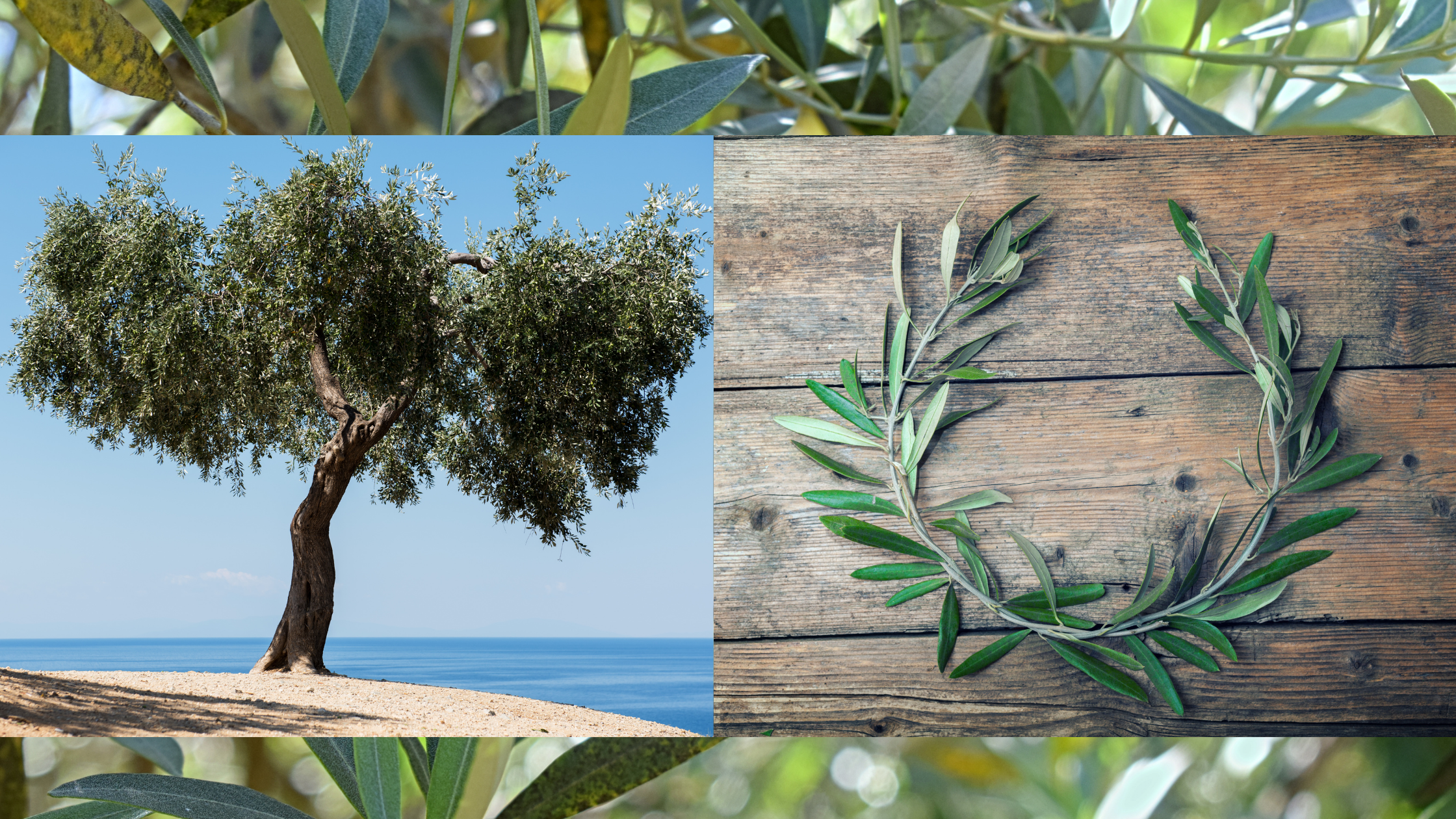 olive tree and wreath made from olive branches