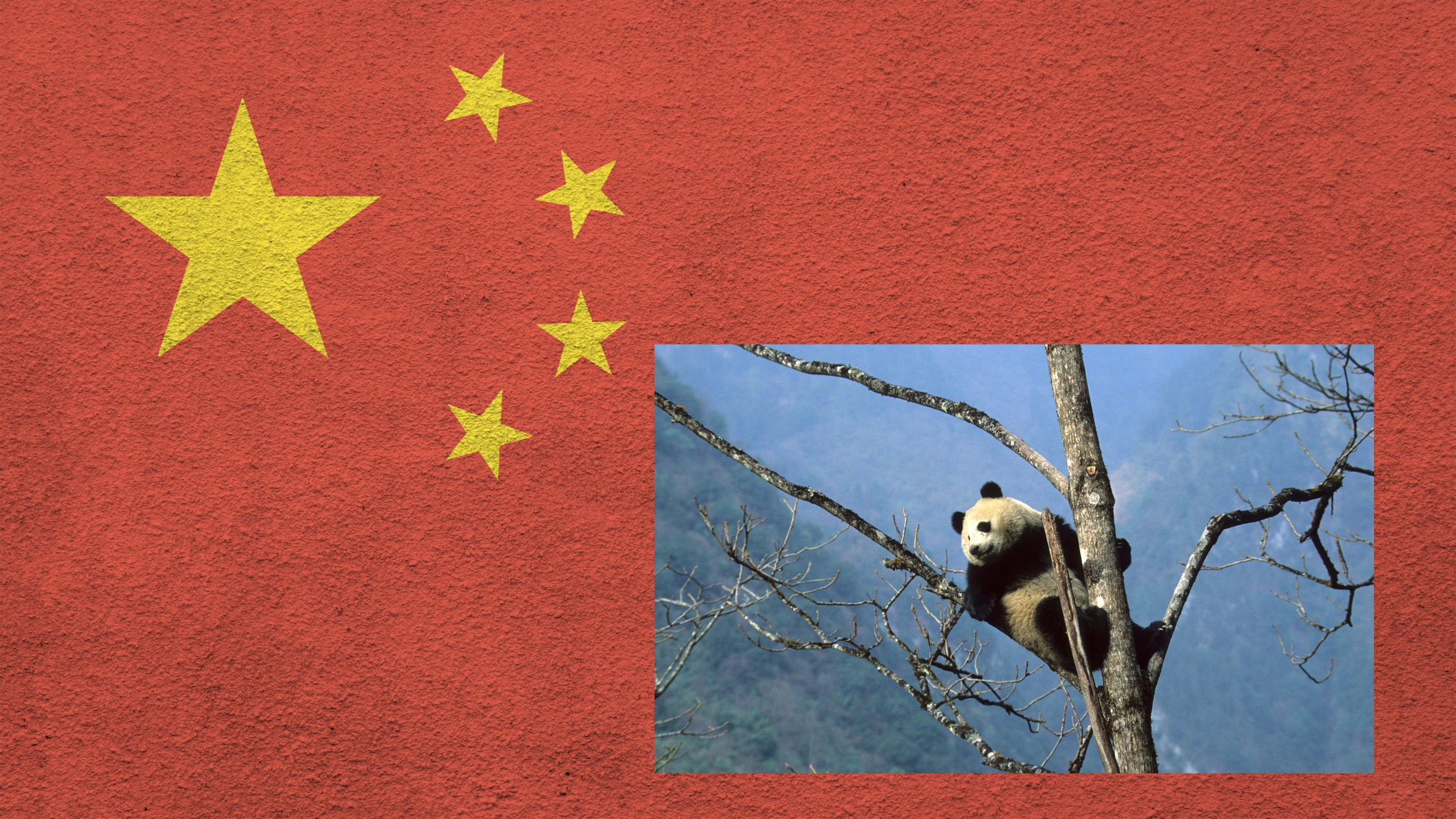 giant panda with background of chinese flag