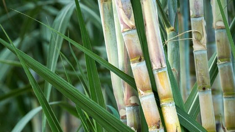 Sugarcane is an important part of the history of Brazil