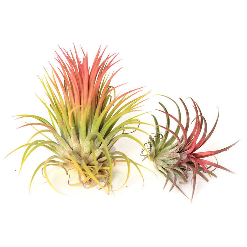 Air Plant Tillandsia Ionantha rouge - Small et Large