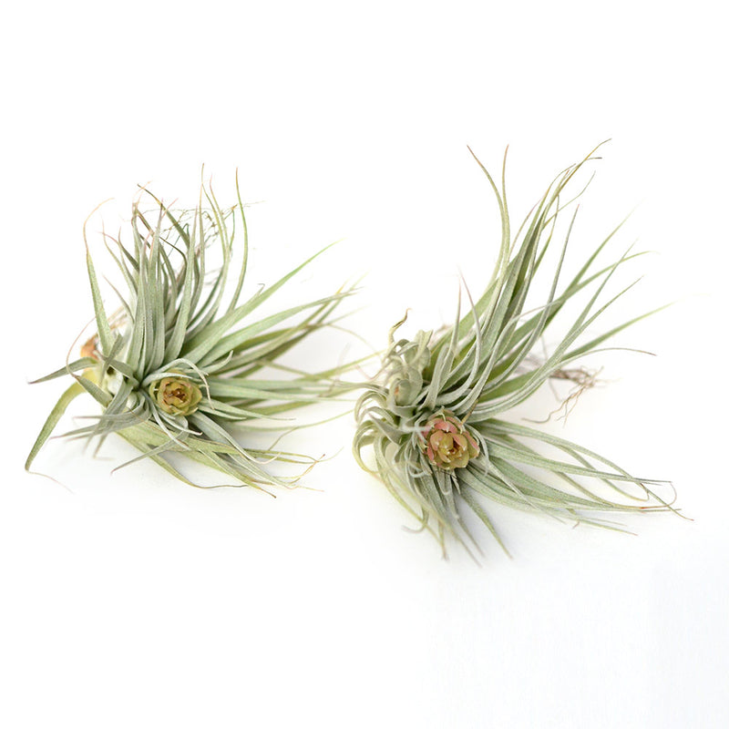 Air Plant Tillandsia Harrisii - Set de 2