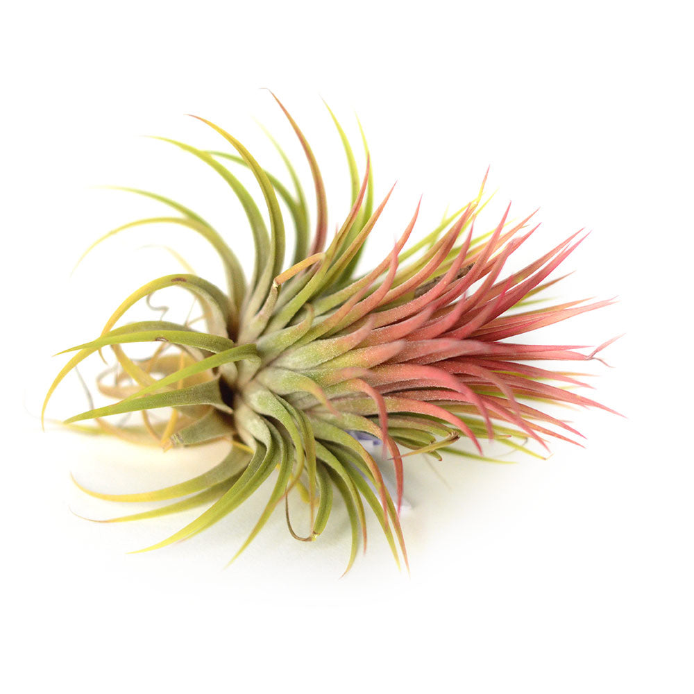 Air Plant Tillandsia Ionantha rouge