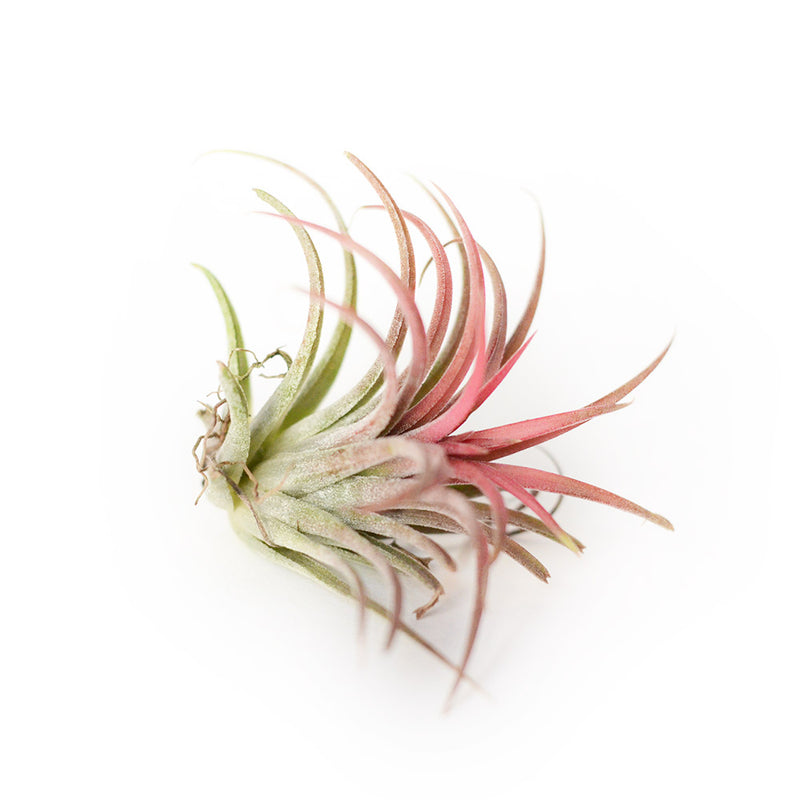 Air Plant Tillandsia Ionantha rouge - Small
