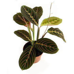 Maranta facinator - Ivy and Green