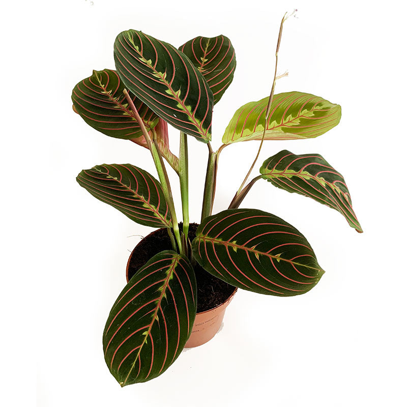 Maranta-Ivy and Green