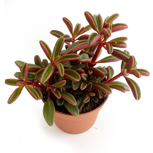 Peperomia Graveolens - Ivy and Green