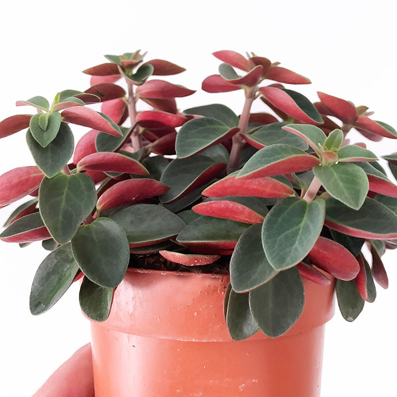 Peperomia redlog detail - Ivy and Green