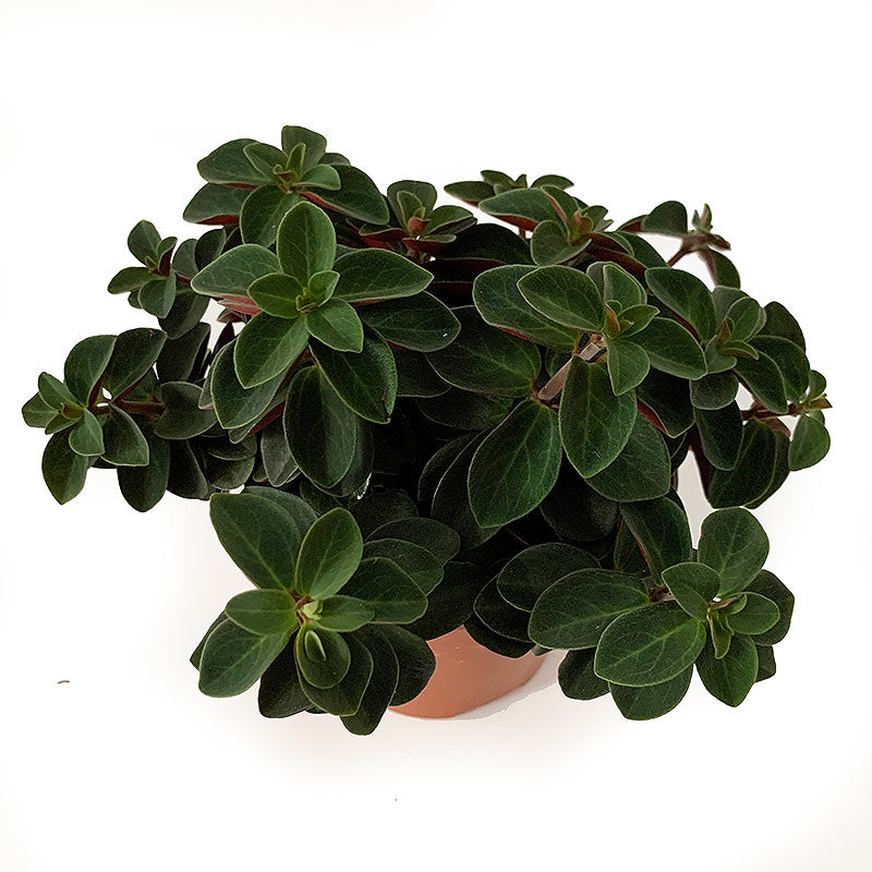 Peperomia Red log - Ivy and Green