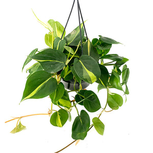 Philodendron Brasil - Ivy and Green