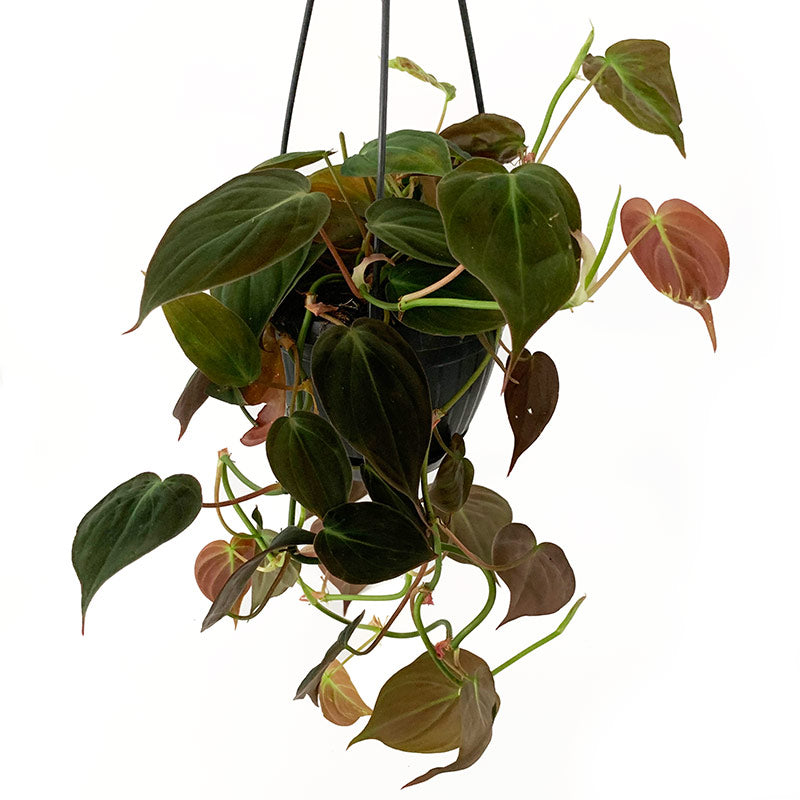 Philodendron Micans - Ivy and Green