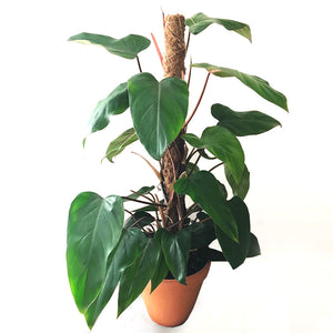 Philodendron Red Emerald - Ivy and Green