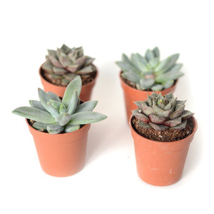 Echeveria Hookeri & Purpusorum - Set de 2 variétés
