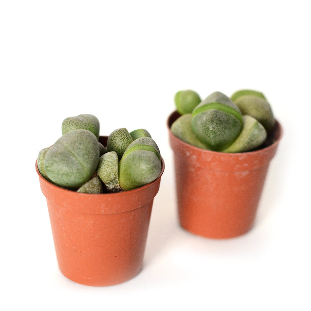 Lithop - Set de 2