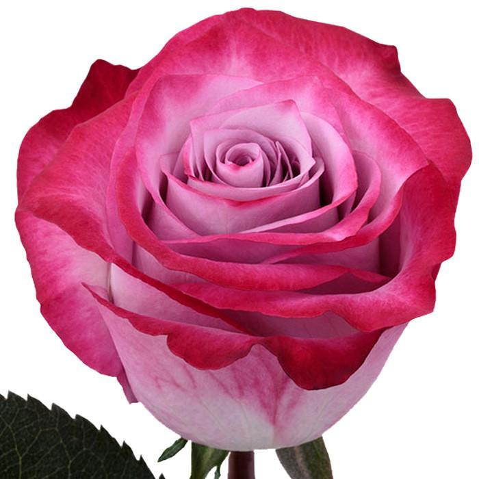 Lavender Rose  I $ 9.99 * Bunch: 25 roses