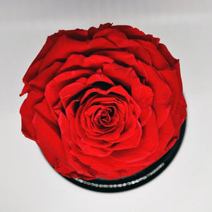 Preserved Jumbo Red Rose in a Dome
