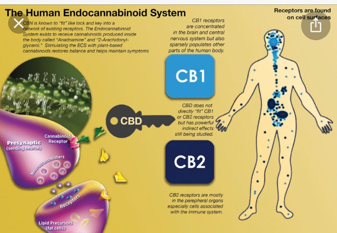 "What are Cannabinoid ""Receptors CB1 & CB2""❓"